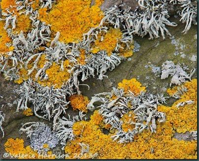 6-lichen