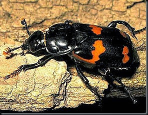 Red and Black Burying or Sextant Beetle   Nicrophorus Sayi