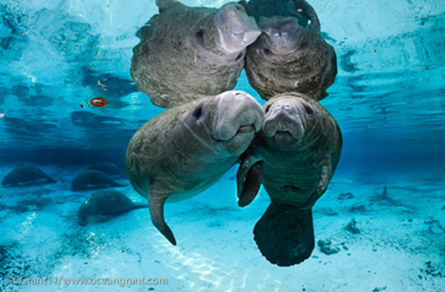 Florida manatees are facing serious and imminent threats. In 2013, combined causes of death have taken a much larger toll on the manatee population. According to a report from the Florida Fish and Wildlife Commission, 585 manatees have died as of 2 May 2013, approximately 11 percent of their total population. Photo: Carol Grant / OceanGrant.com