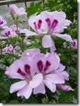 portmore glasshouse hibiscus