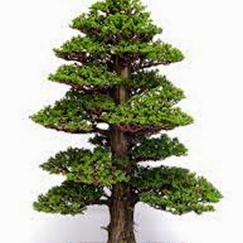 Molto ricercata come specie bonsai è la Cryptomeria japonica dalla chioma fastigiata e dal fogliame compatto.