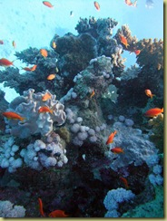 Coral and Antheas-1
