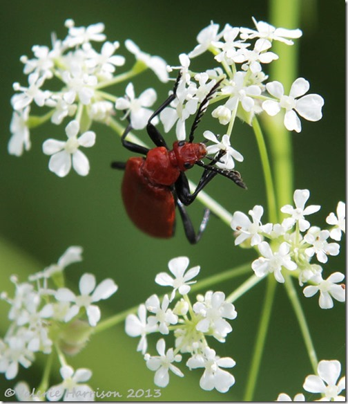 13 red-headed-cardinal-beetle