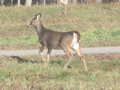 11.2011 Maine Otisfield deer in apple farm field1