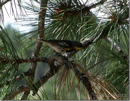 01 Yellow-rumped warbler in ponderosa pine Walhalla lunch spot NR GRCA NP AZ (1024x795)