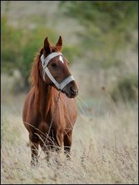 GG-horse