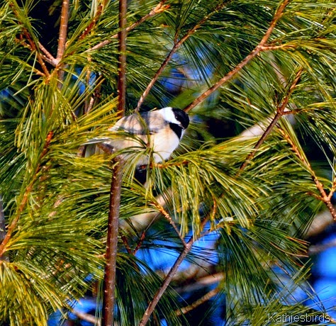 3. black capped chickadee-kab
