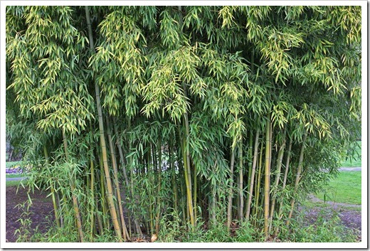 120317_Capitol_Park_Phyllostachys-bambusoides_03