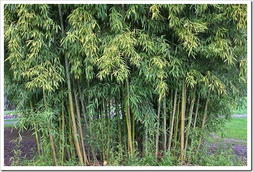 120317_Capitol_Park_Phyllostachys-bambusoides_03