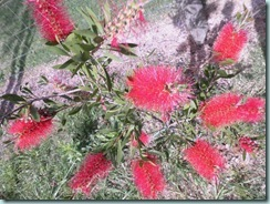 Lge bottlebrush