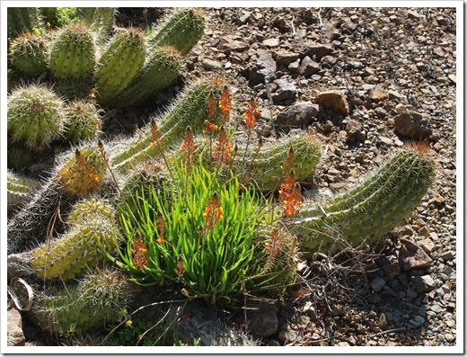 120414_RBG_Bulbine-frutescenes- -cactus