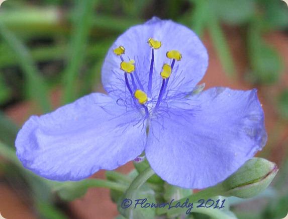 11-09-spiderwort7