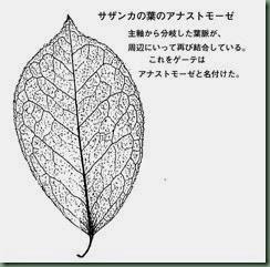サザンカの葉:アナストモーゼ
