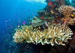 แนวปะการังทับบาทาฮา(Tubbataha Reef )