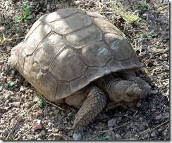 Desert Tortoise 3-18-2013 8-39-40 AM 2580x2148