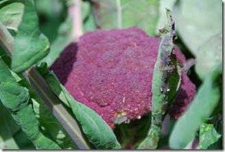 Brócolos roxos  DSC_0472DSC_048816