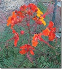 Red Bird of Paradise Blossom
