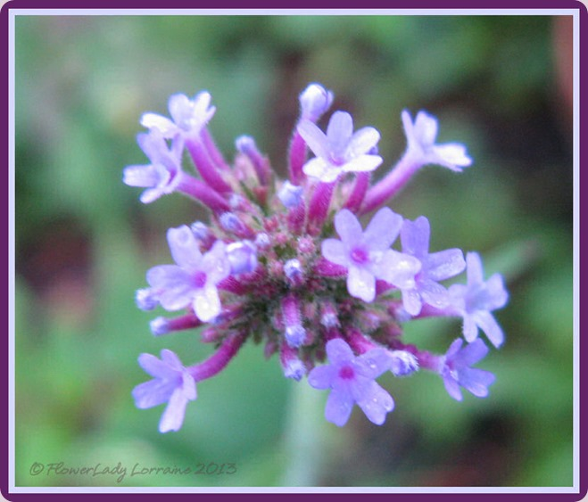 06-01-purpletop-verbena
