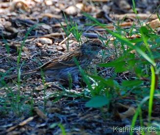 14. juv chipping sparrow-kab