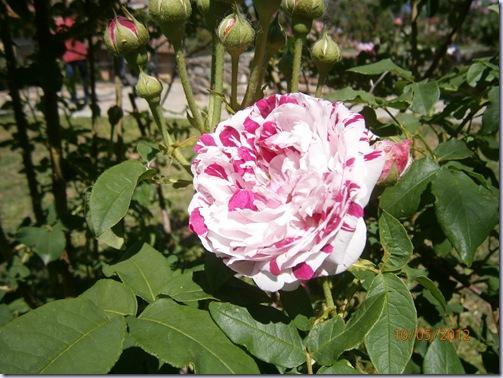 Giardino iris e rose 283