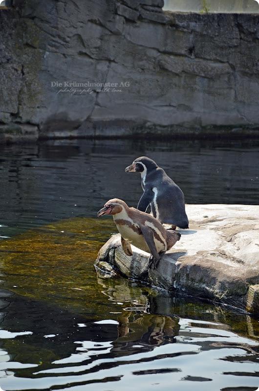Wremen 29.07.14 Zoo am Meer Bremerhaven 13 Humboldtpinguine