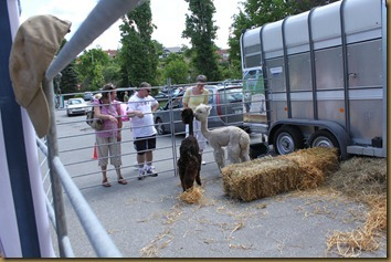 Alpacas Prince and Tilt greets the visitors