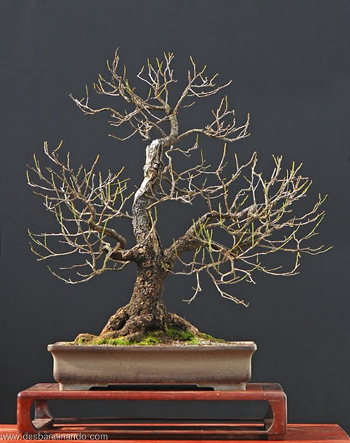 bonsais arvores em miniatura desbaratinando (31)