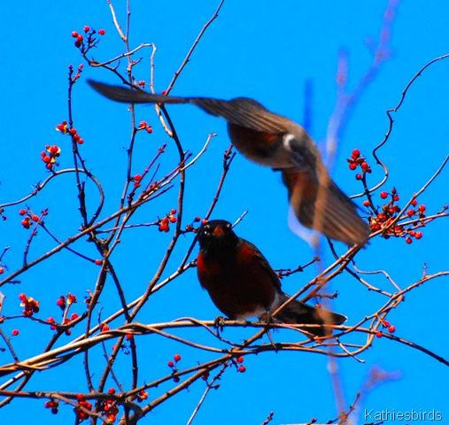 13. flying robins-kab