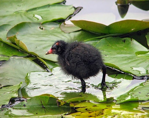 Amazing Pictures of Animals, Photo, Nature, Incredibel, Funny, Zoo, Common Moorhen, Gallinula chloropus, Aves, Alex (16)