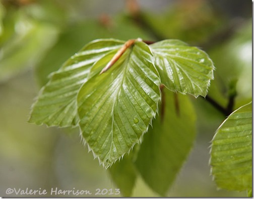 1-beech-leaves