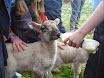 Lambs in school 2011 007.jpg