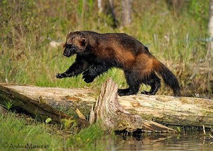 Amazing Pictures of Animals, Photo, Nature, Incredibel, Funny, Zoo, Wolverine, Glutton,  skunk bear, Carcajou, Alex (13)