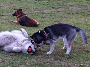 Lindy, 6mo husky