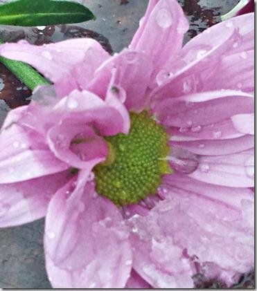 rosa våt