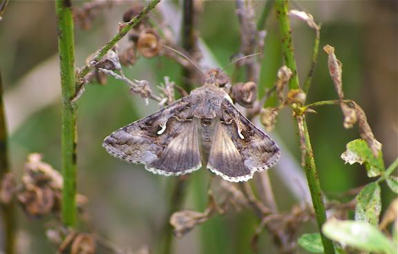 Noctuidae : Plusiinae : Autographa gamma (LINNAEUS, 1758). Hautes-Lisières (Rouvres, 28), 27 septembre 2011. Photo : J.-M. Gayman