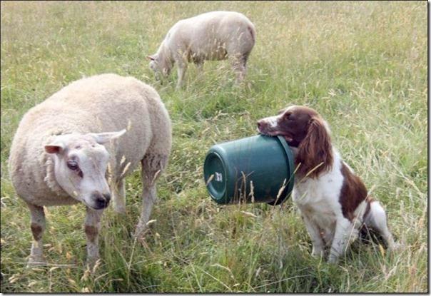 Cachorro alimentando um cordeiro (4)