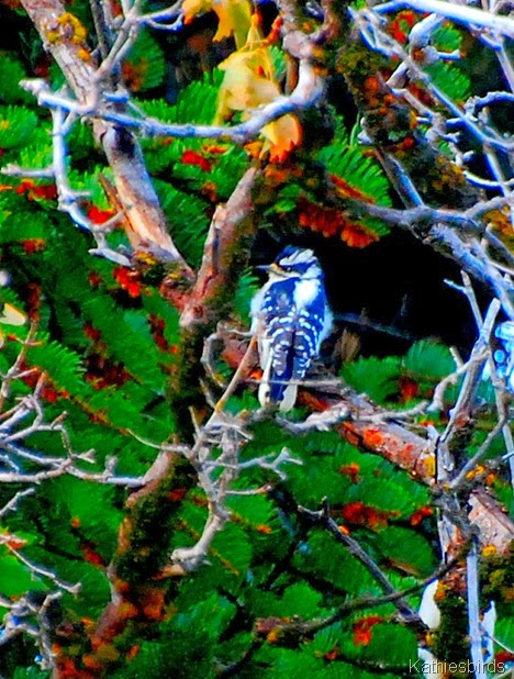 12-13-13 Downy woodpecker-AFF10
