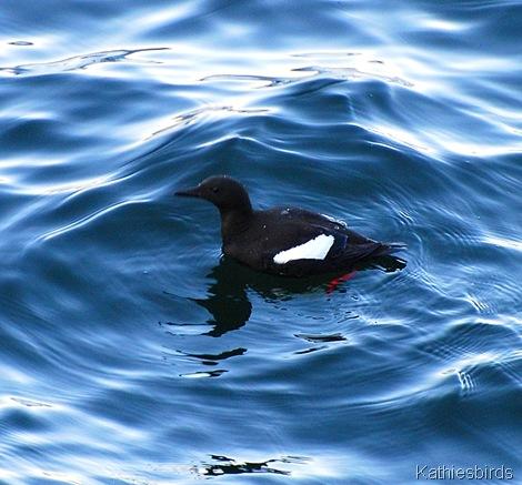 3. black guillemot-kab Acadia NP