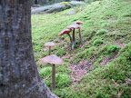 EUREKA!  A crop of toadstools right near the bracket fungi!  Good idea to venture into the woods!
