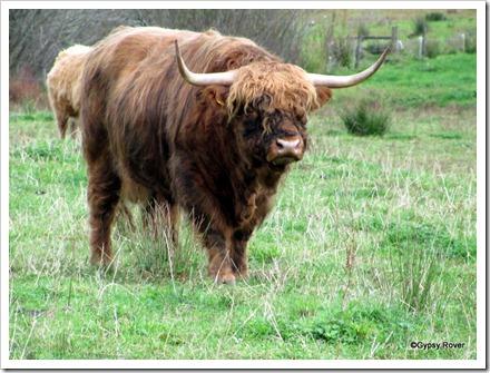 Highland McBull in Karamea.