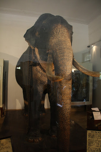 Raja the most famous tusker in Sri Lanka.