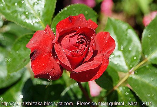 rosa vermelha 9 - Gloria Ishizaka