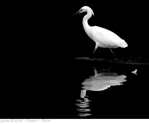 'Egret's Regrets' photo (c) 2008, *~Dawn~* - license: http://creativecommons.org/licenses/by/2.0/