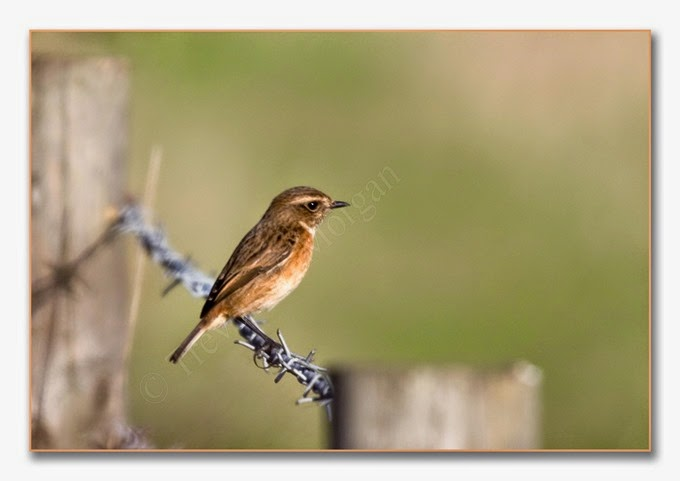Local Birds 7  Stonechat  female 2