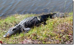 Big aligator basking in the sun on the causeway