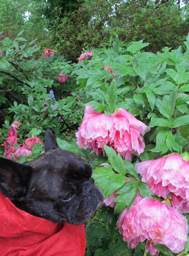 Darn!  Too much rain on these giant blooms.