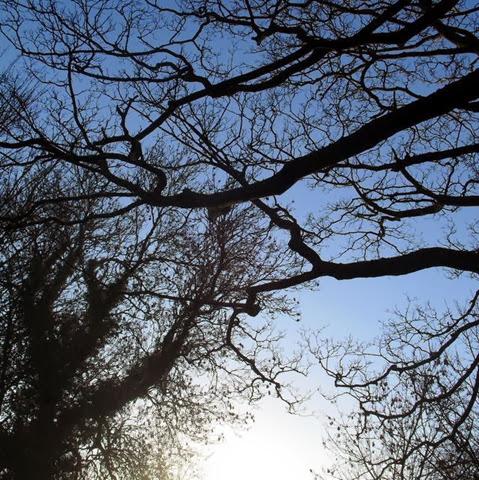 sycamore - laughton lane - follow a tree