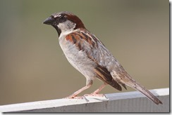 800px-House_Sparrow_mar08