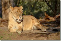 Lady Lion
