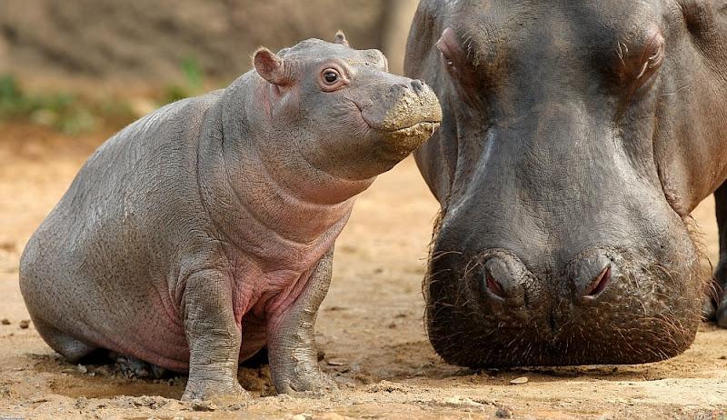 Baby-Hippo-Mama-Hippo